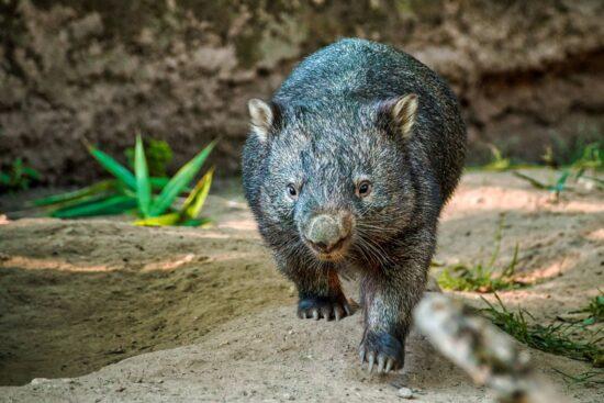 Wombats Características y Curiosidades