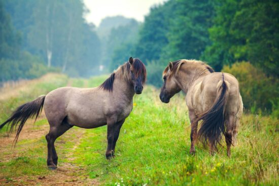 Caballo Mustang Características y Curiosidades