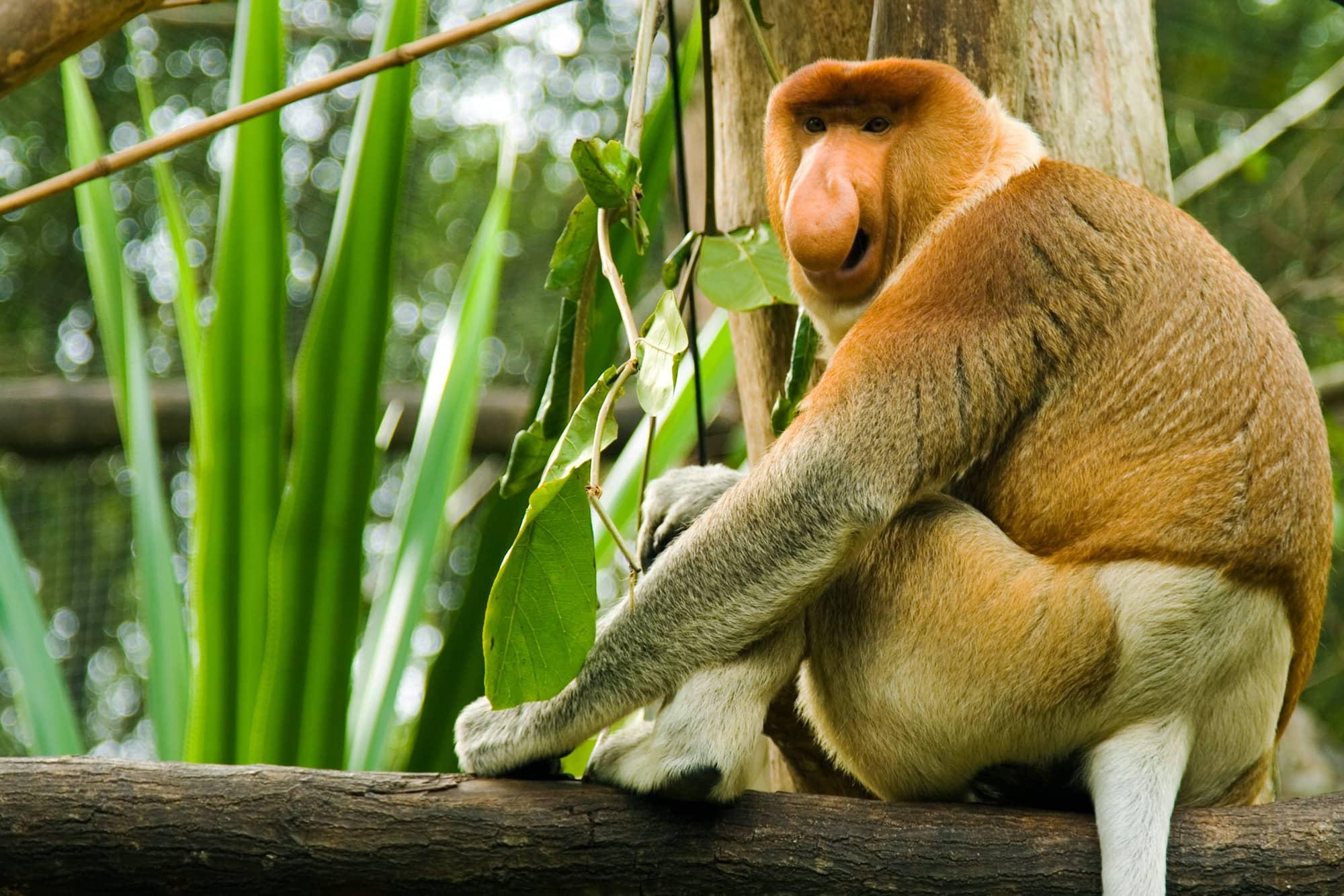 Mono Narigudo Características y Curiosidades