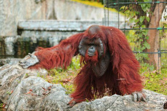 Orangután Características y Curiosidades